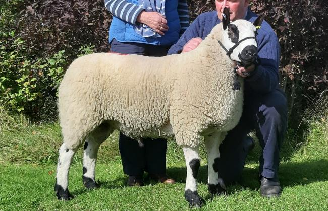 Topping the Kerry Hills at £1500 was this shearling ram from RF and DJ Price