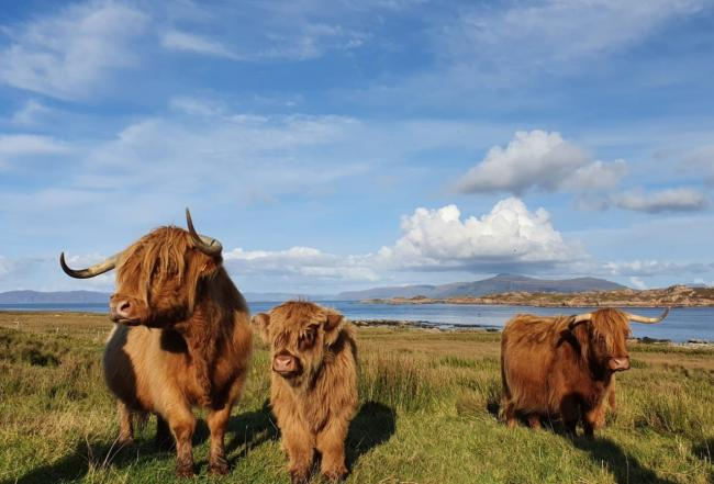 Plans to reduce the window of slaughter may not suit native breed farmers such as Highland breeders amongst many others