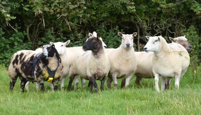 Edward runs a six month old ram lamb with a batch of commercial ewes. PICTURE: Chris McCullough
