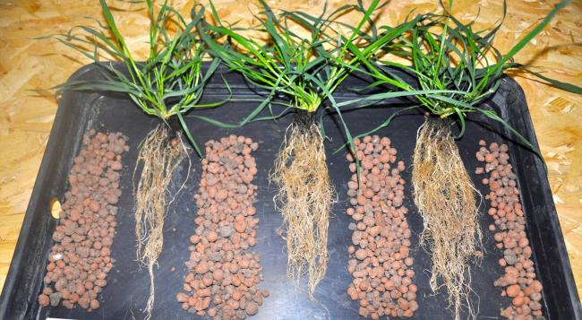 Seed treatment Vibrance Duo (right) has been shown to improve rooting and yield in a range of cereal crops, and has now been approved for spring wheat seed
