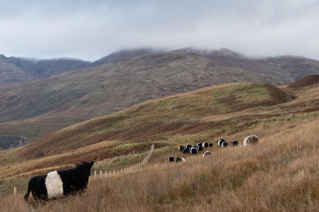 Native and rare breed farmers have spoken out against proposals to reduce the age of slaughter – which could mean big changes for extensive, grass-based systems in Scotland  Ref:RH121019132  Rob Haining / The Scottish Farmer