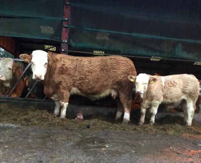 This heifer and calf from N and N Gwynne, Castlewigg, topped the trade at £3885