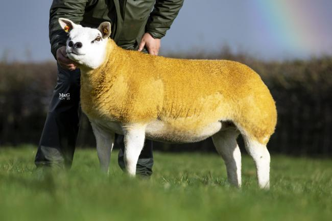 Sale leader at 14,000gns from the Procters flock