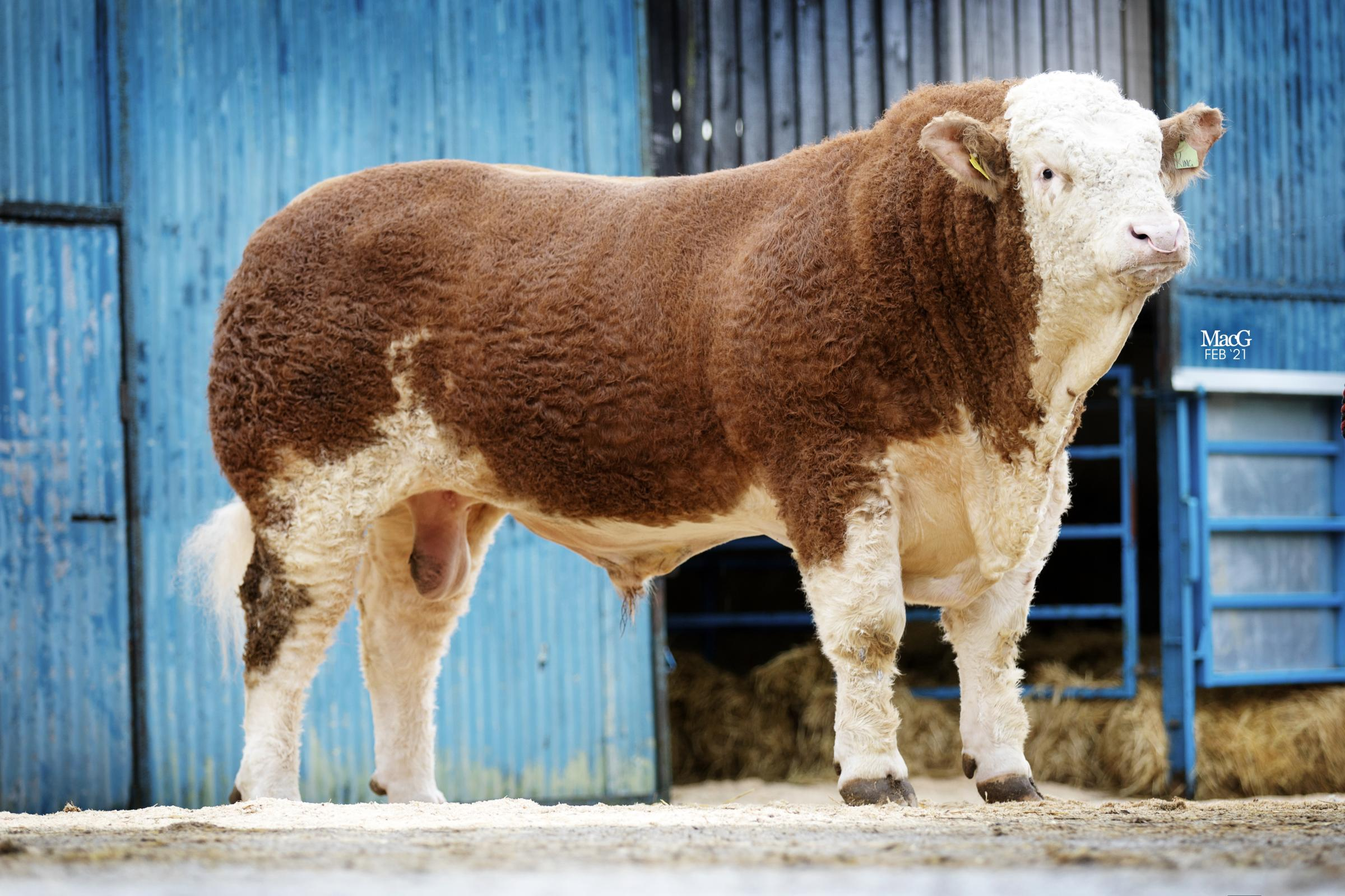 Backmuir King, one of four bulls entered for Stirling