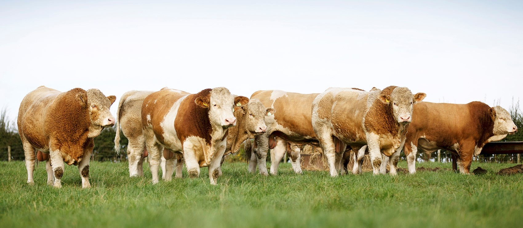 Home-bred Simmental bulls used on the Luing and the Sim-Luing herds