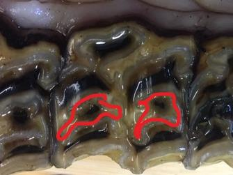 Image of surface of an upper cheek tooth with the infundibulum highlighted with a red marker