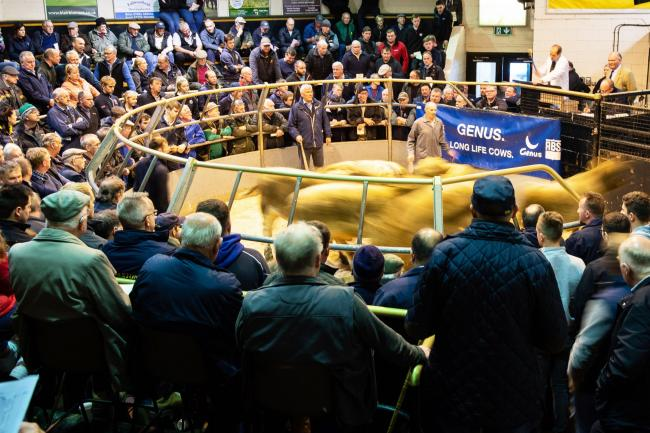 When buyers and spectators could gather round sale rings for calf sales. This photograph was taken at Ayr pre Covid-19 Ref:RH101019045  Rob Haining / The Scottish Farmer