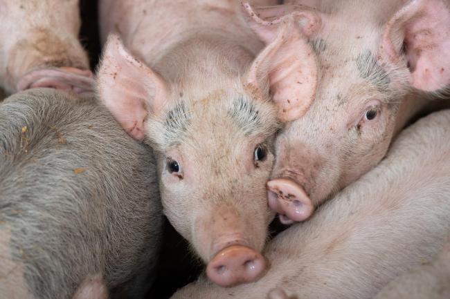 China's sow herd is believed to be 10-15% higher than this time last year