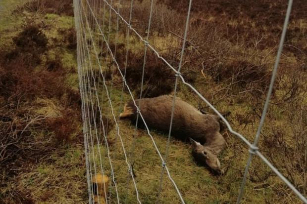 Images of dead hinds inside a woodland scheme in Dunvegan have caused a stir on Skye residents social media