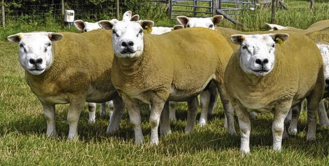 Texels and tourism run hand in hand | The Scottish Farmer