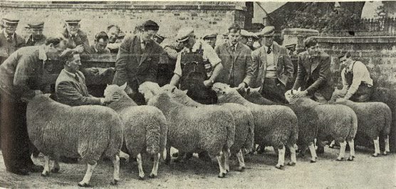 The line up in the North Country Cheviot shearling ram class just prior to the final placings being made at the show and sale held by the Northern Pastoral Club at Dingwall in 1962.