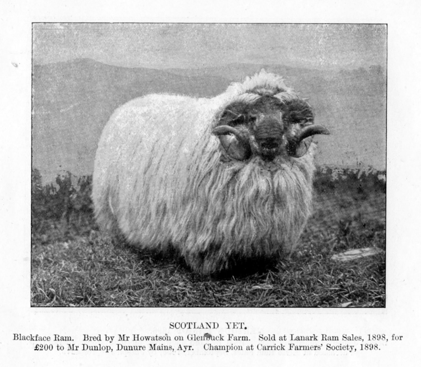 Scotland Yet -- a Blackface ram bred by Mr Howatson on Glenbuck Farm sold at Lanark in 1898 for £200 to Mr Dunlop, Dunure Mains, Ayr. It had been champion at Carrick Farmers Society Show the same year