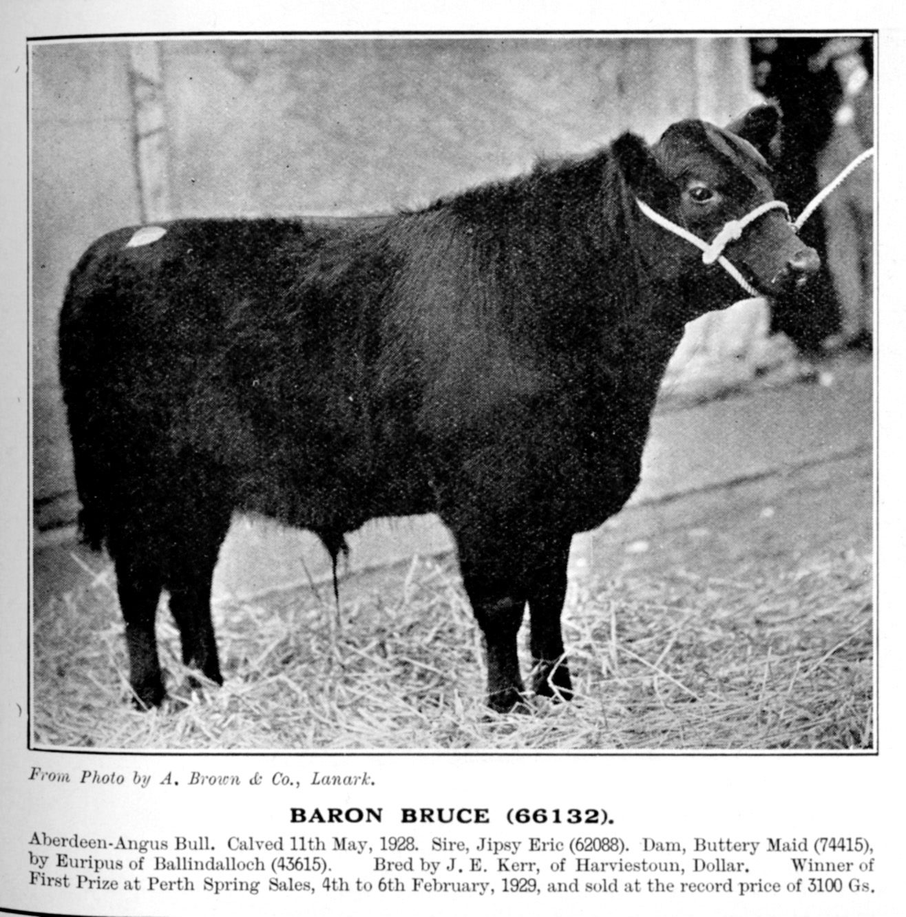 Baron Bruce, by Jipsey Eric and bred by JE Kerr, of Harviestoun, Dollar, was a first prize winner at the Perth Bull Sales in 1929 before going on to sell for a record price of 3100gns