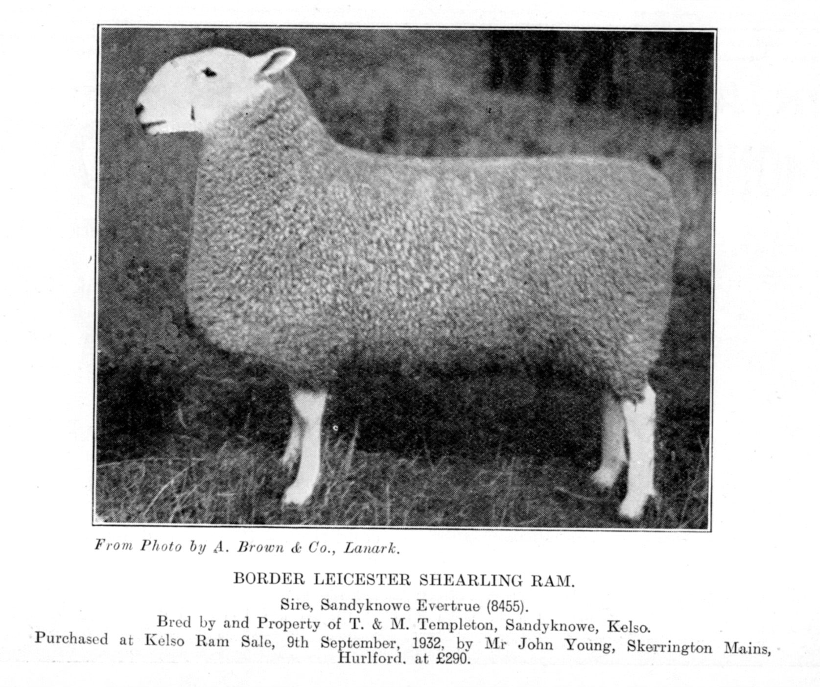 In 1932, this Border Leicester ram from T and M Templeton, Sandyknowes, Kelso, sold for £290 to John Young, Skerrington Mains, Hurlford