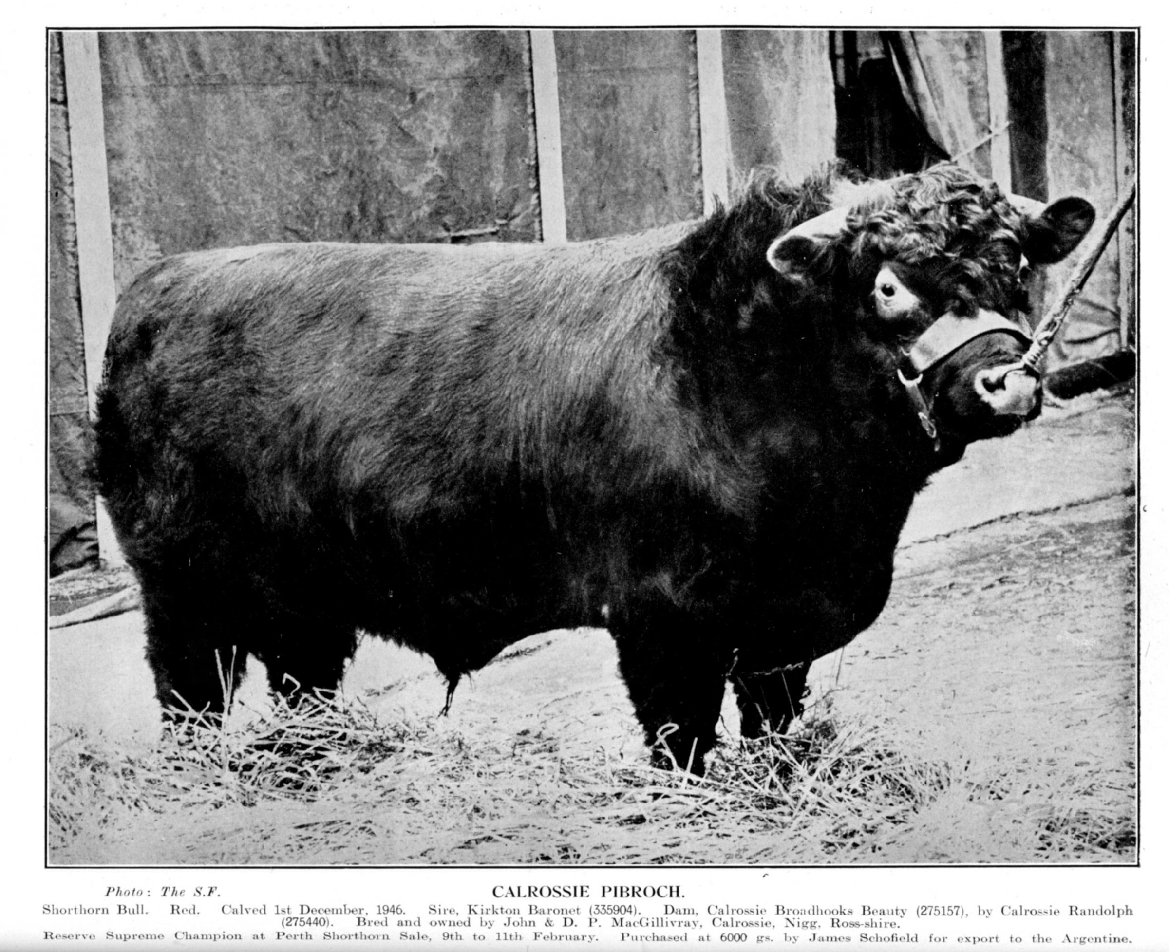 Calrossie Pibroch, bred and owned by John and DP MacGillicray, Calrossie, Nigg, took the championship at Perth in 1948 before selling for 6000gns to James Schofield for export to the Argentine