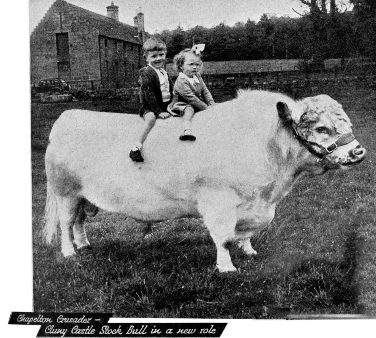 Chapelton Crusader -- the Cluny Castle stock bull in a new role in 1951