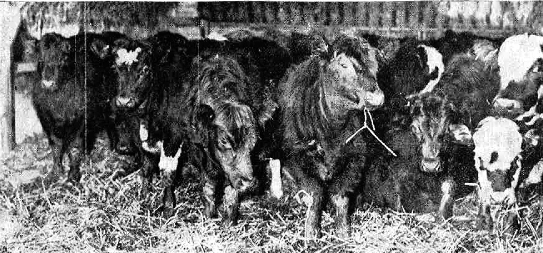 Youngstock destined for the 1962 market in the Milton of Ogil cattle court