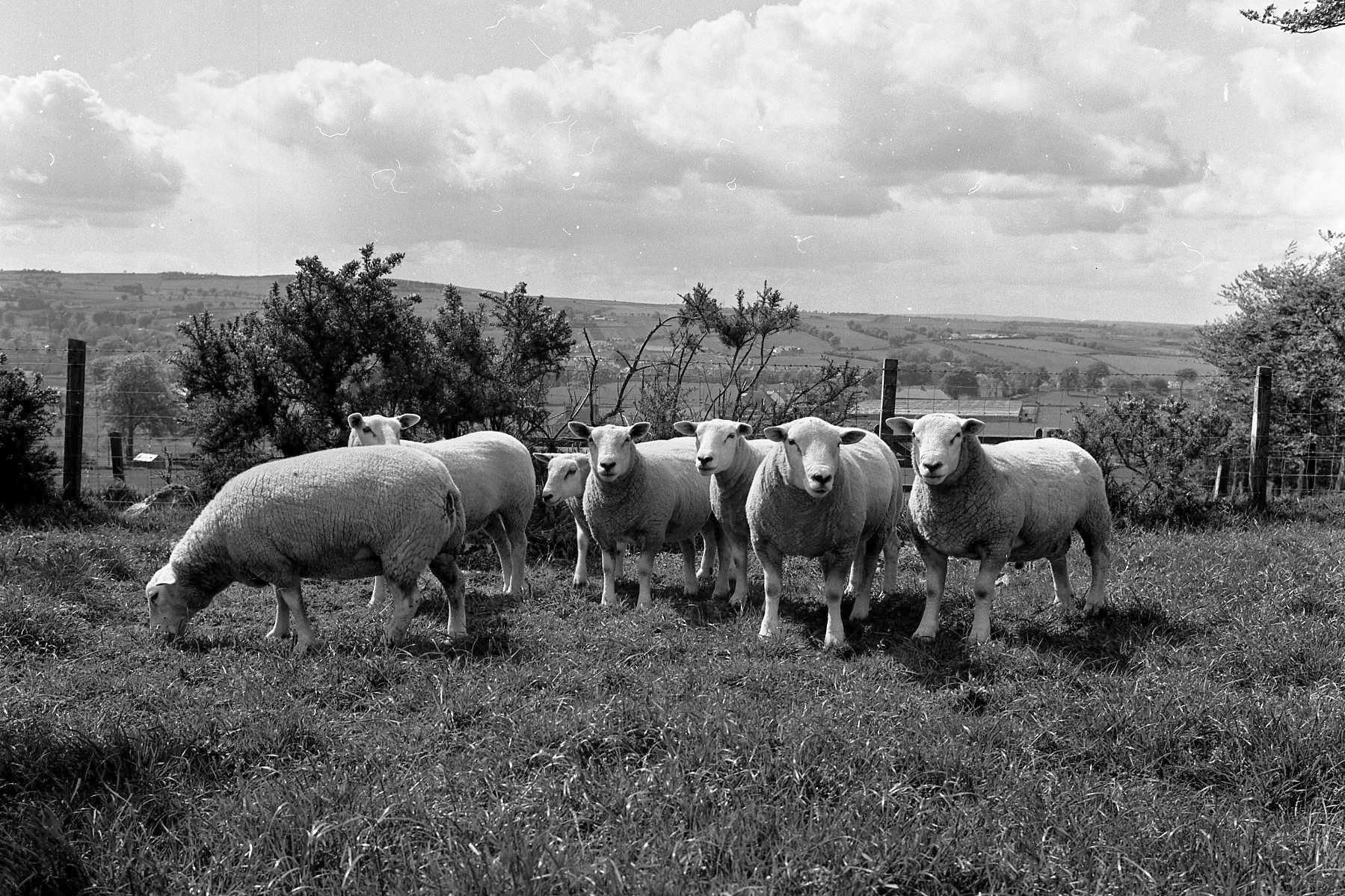 Texel sheep arrived in Scotland after a group of Lanarkshire farmers purchased 27 ewe hoggs and 13 rams in 1974. These were pictured at Jock McGregor's farm, near Lesmahagow