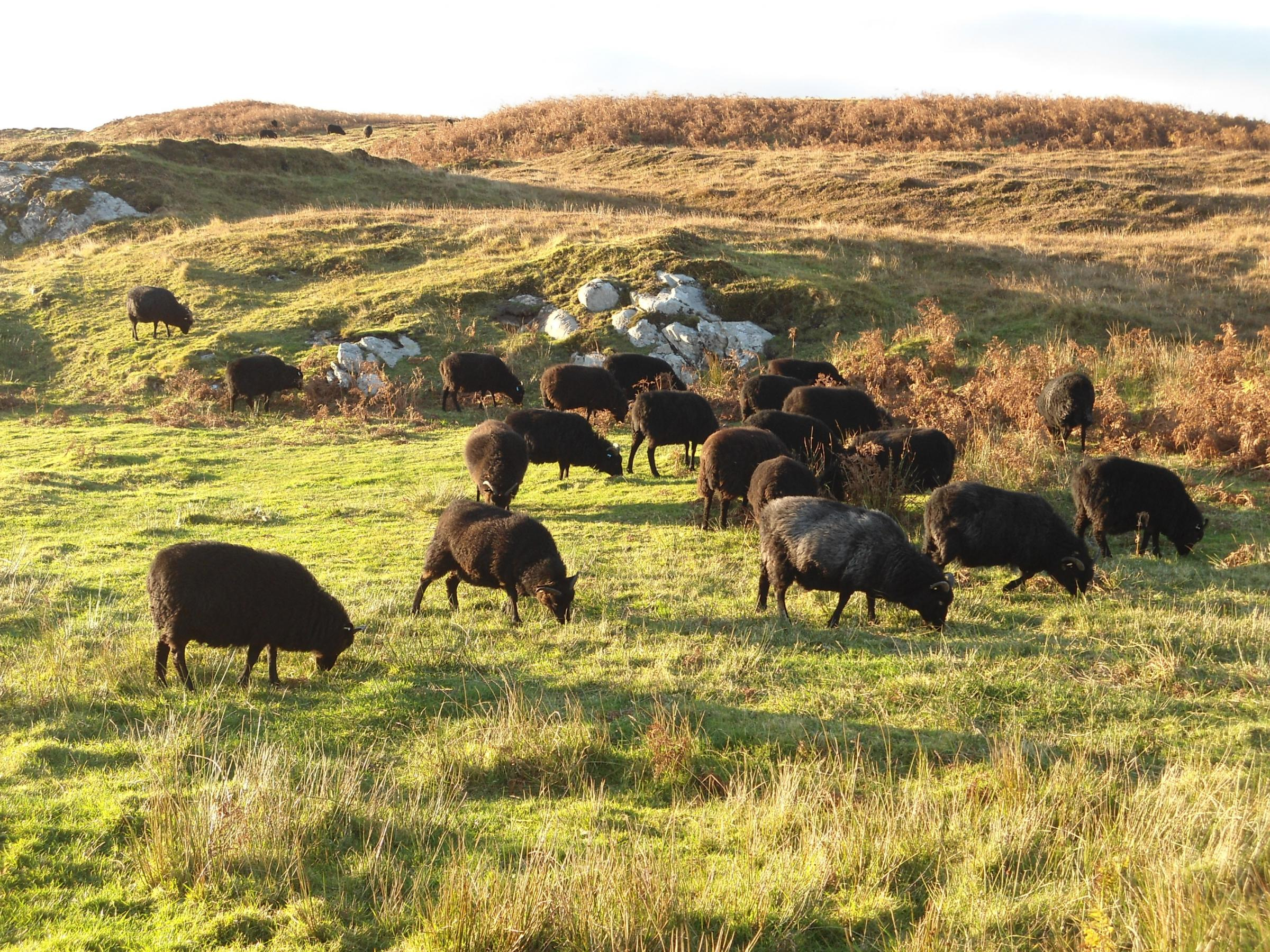 Hebridean sheep doing what they doing best, living on not a lot