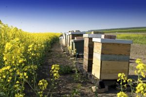 Bee hives next to OSR