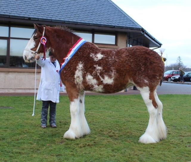 Heading up the Clydesdale entry was Charlotte Young's Forneth Lucky Daisy