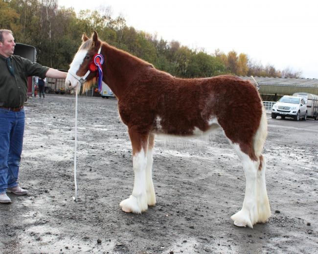 Ord Tinkerbelle came out on top at Grampian Foal Show