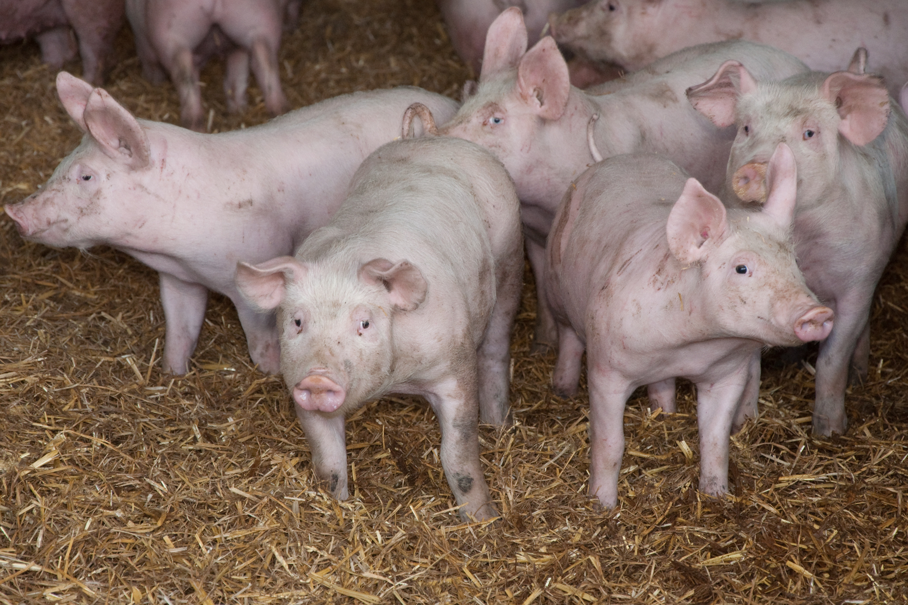Antibiotic usage in the UK pig herd has dropped by more than 50% over the past two years