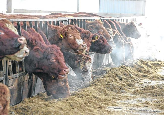 Getting fibre digestibility right can help boost beef cattle growth