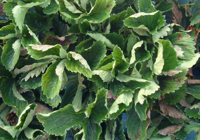 Luna Sensation offers mildew control in strawberries | The