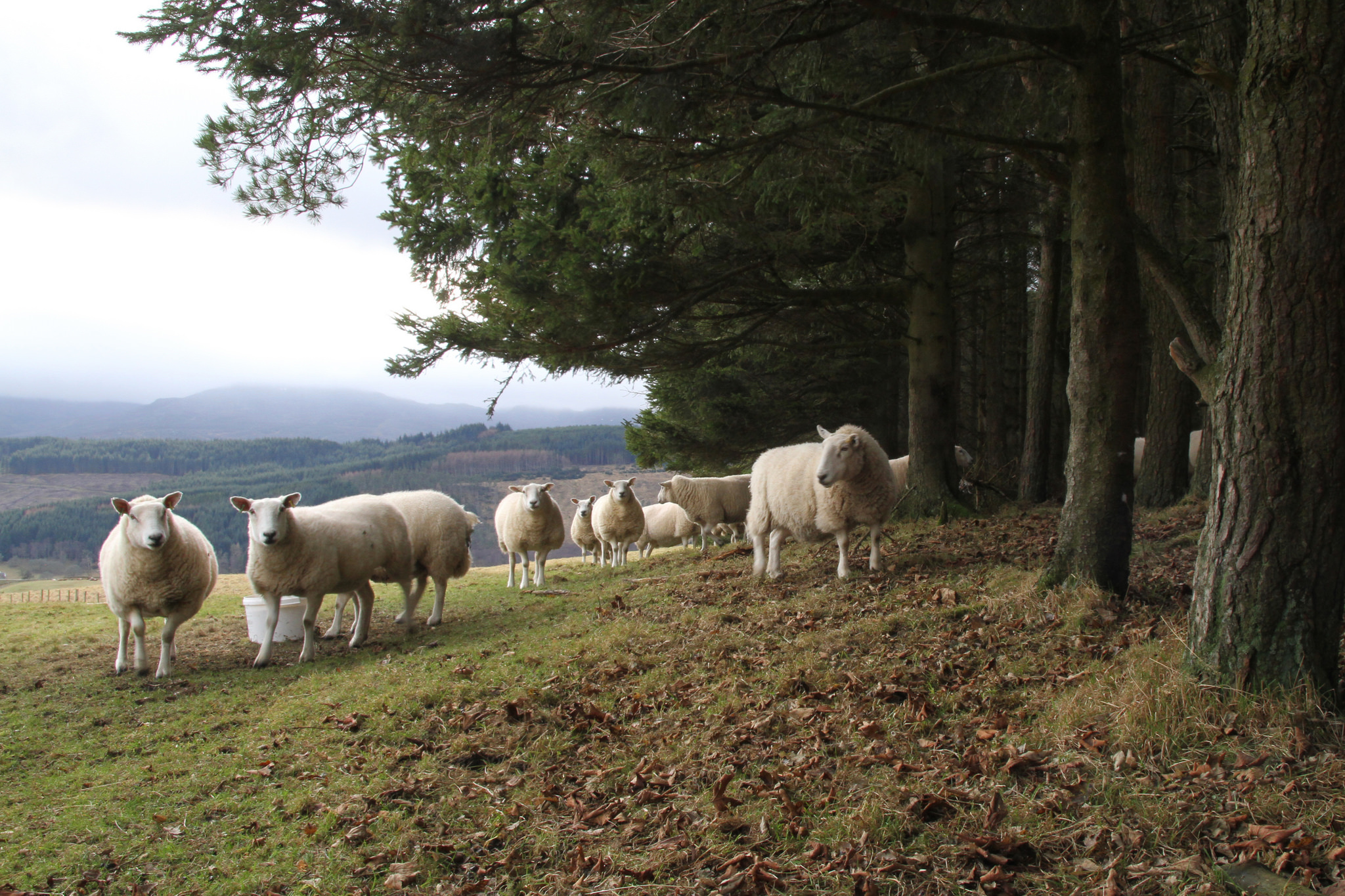 Sheep benefitting from tree shelter  - but grazing under trees may diminish their ability to absorb excess rainfall