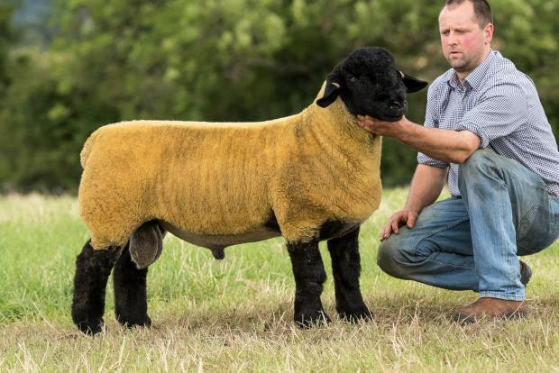 Suffolk lambs sell well at Stirling   The Scottish Farmer