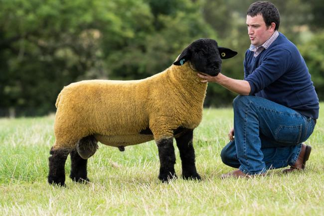 Suffolk lambs sell well at Stirling | The Scottish Farmer