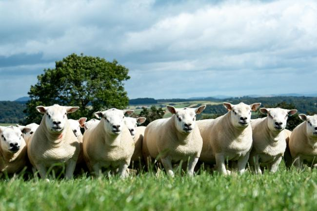 134f94af A commercial base for quality rams | The Scottish Farmer