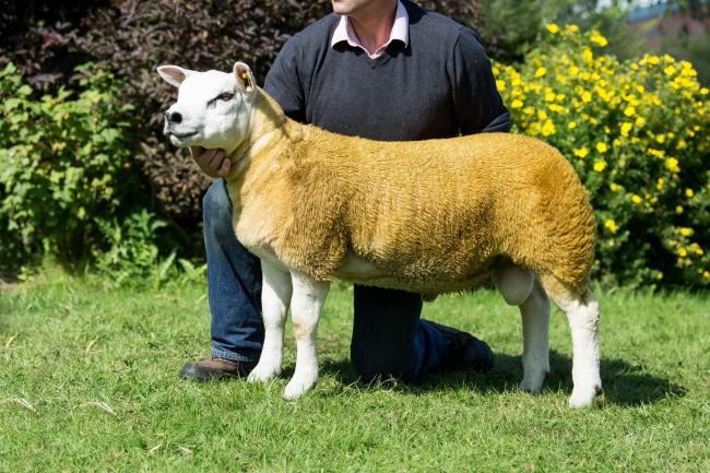 Selective Texel trade peaks at 40,000gns   The Scottish Farmer
