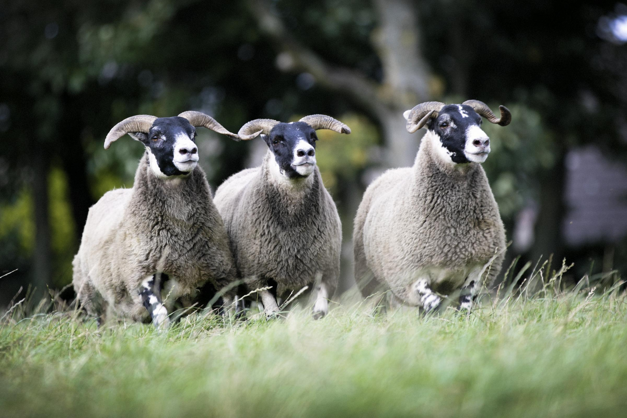 Harestone's pen of three gimmers that sold for £520 per head