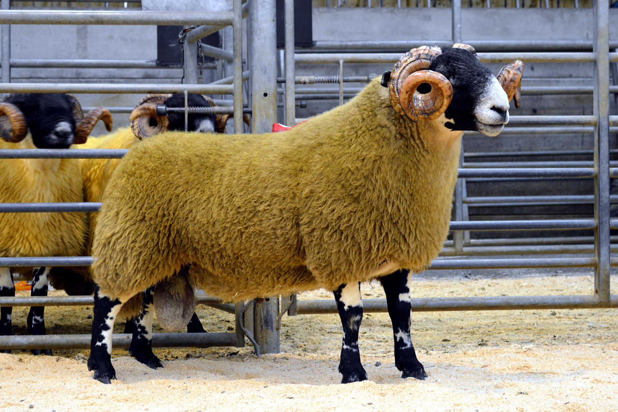 Sale topper at £18,000 was this shearling from the Dudlees shepherd's pack