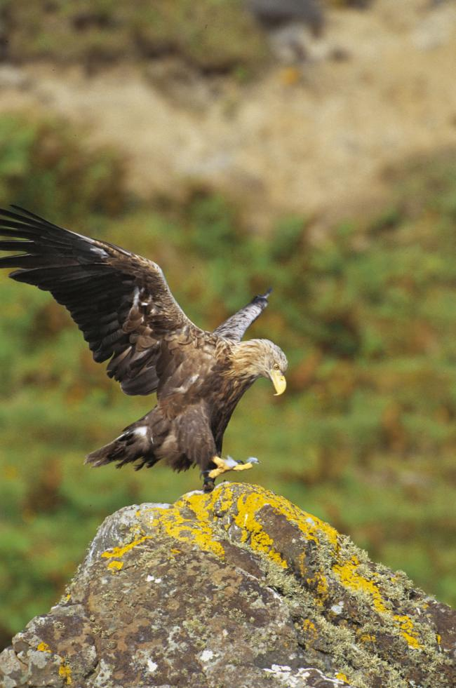 Sea eagle numbers set to double over the next decade