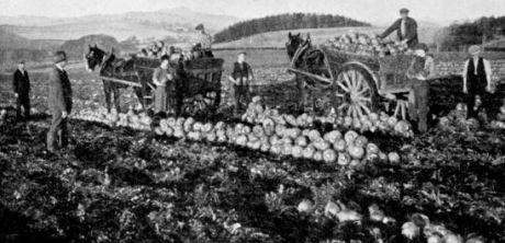 TURNIP LIFTING in Fife at the turn of the century shows Webb's Invincible yellow turnips being harvested by R Walker, Kilmaron, Cupar, Fife. They yielded 55 tons, 11cwt to the acre