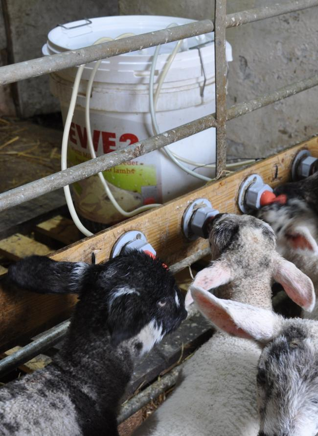 Margins of £15-£25 a lamb are achievable rearing surplus lambs on ewe milk replacer