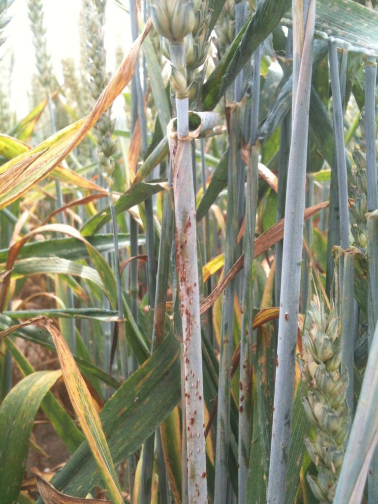 Stem rust has the ability to cause serious losses in wheat across Europe if it gets a hold