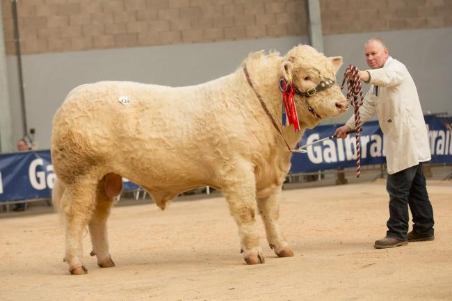 Stirling Bull Sales: Flying trade for Charolais bulls with a 46,000