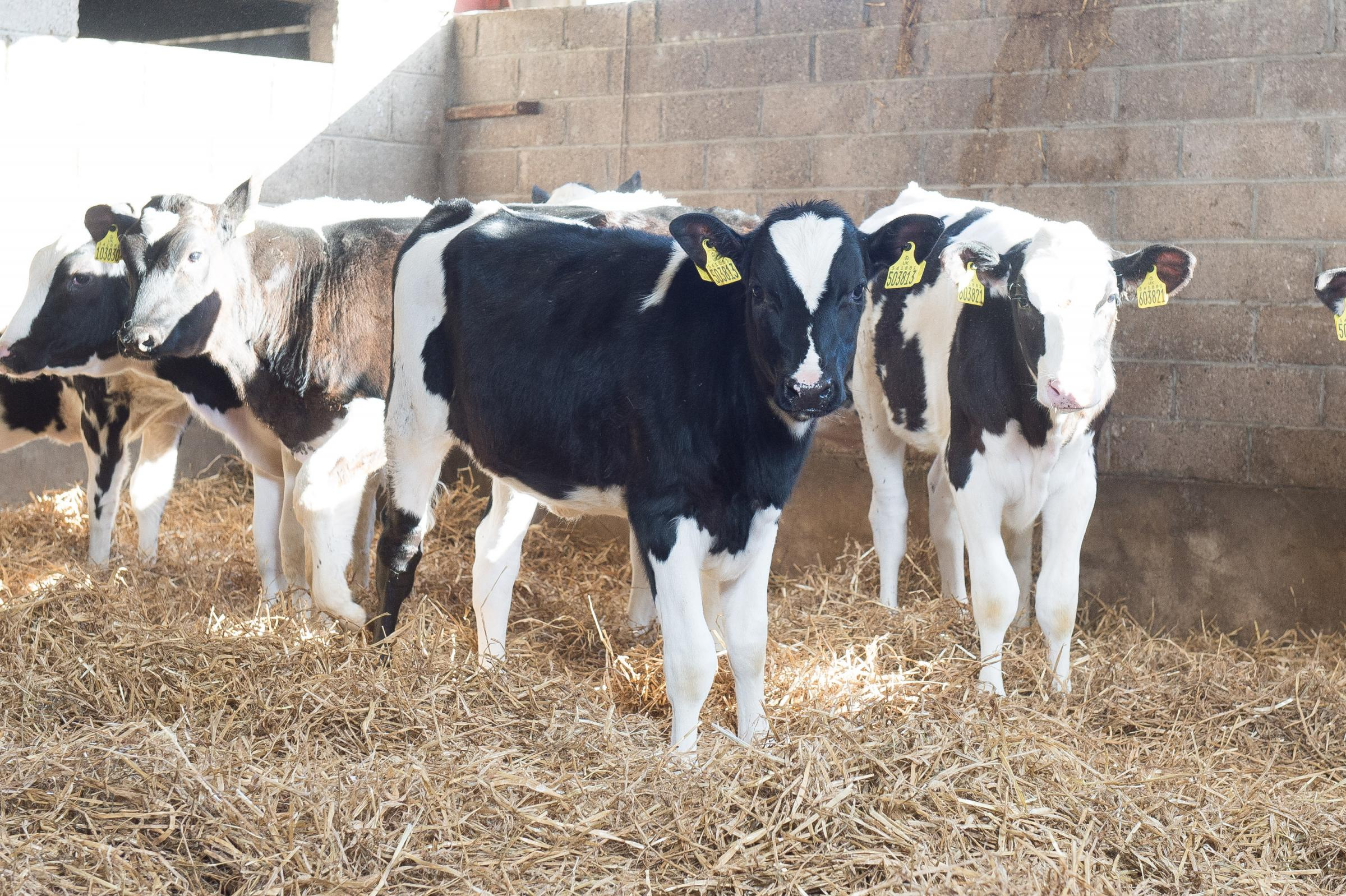 Calves in their first grazing season are most at risk of disease and should be dosed for worms