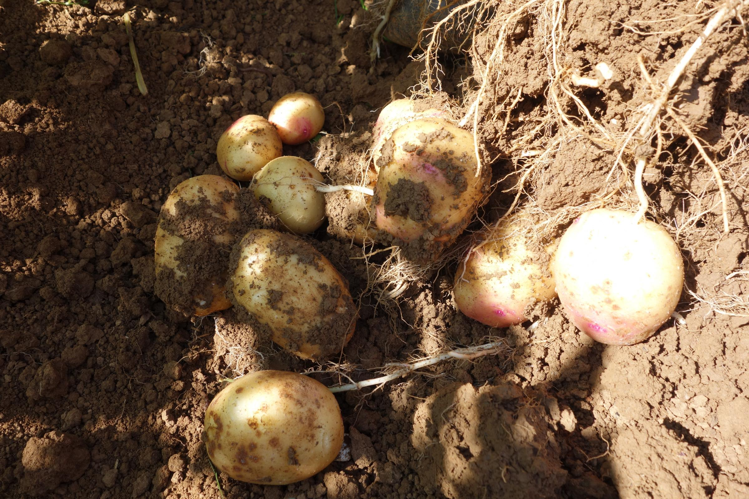 Assessing tubers in the drill before harvest