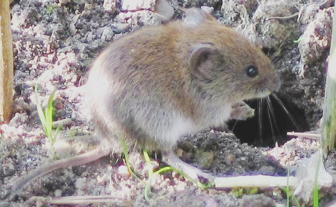 Bank vole (Photo from Wikimedia commons, by user Soebe)