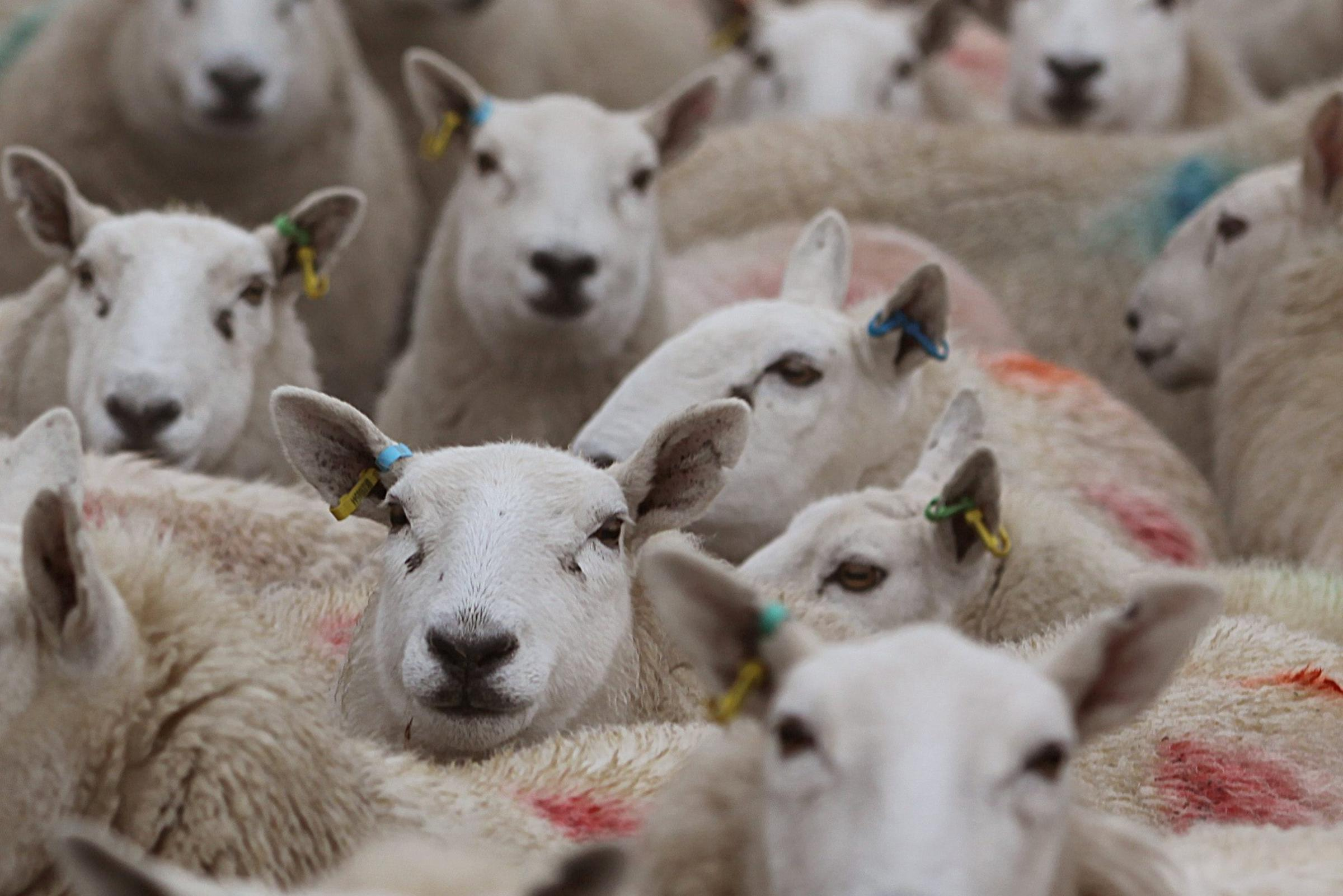 New research shows no advantage to blanket worming ewes at lambing time