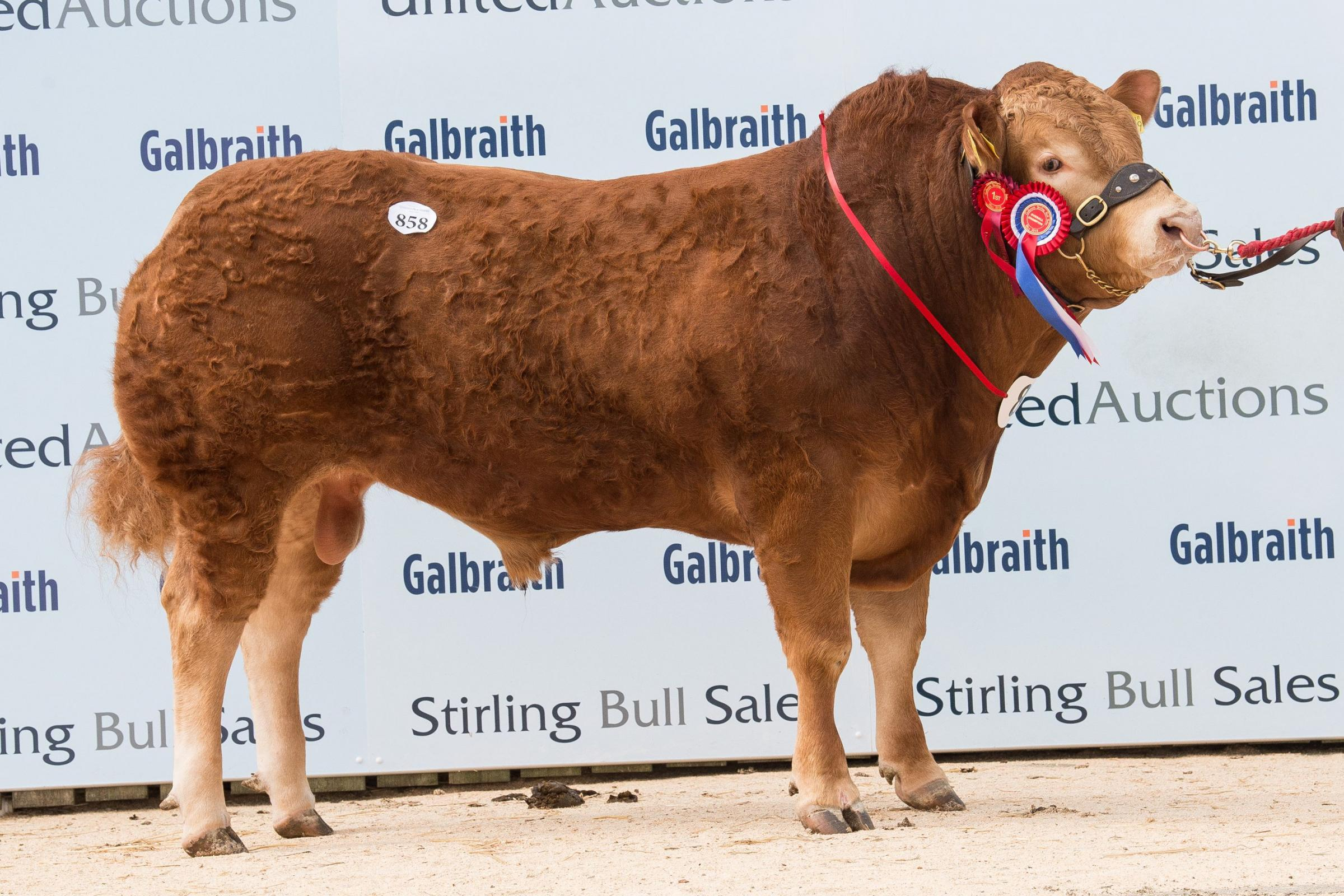 Selling for the top price of 12,000gns was the Limousin champion, Anside Magneto from the Irvine family