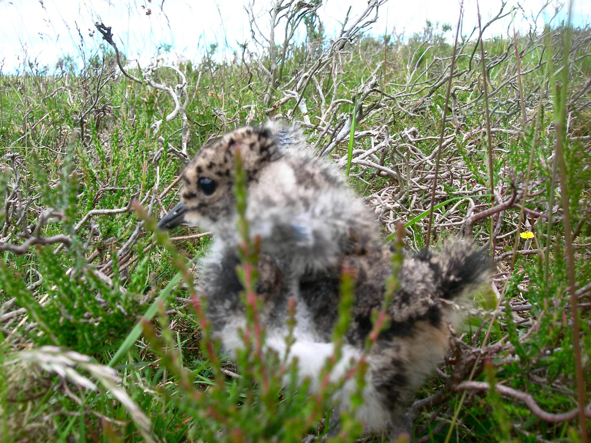 Lapwing chick, in its nest