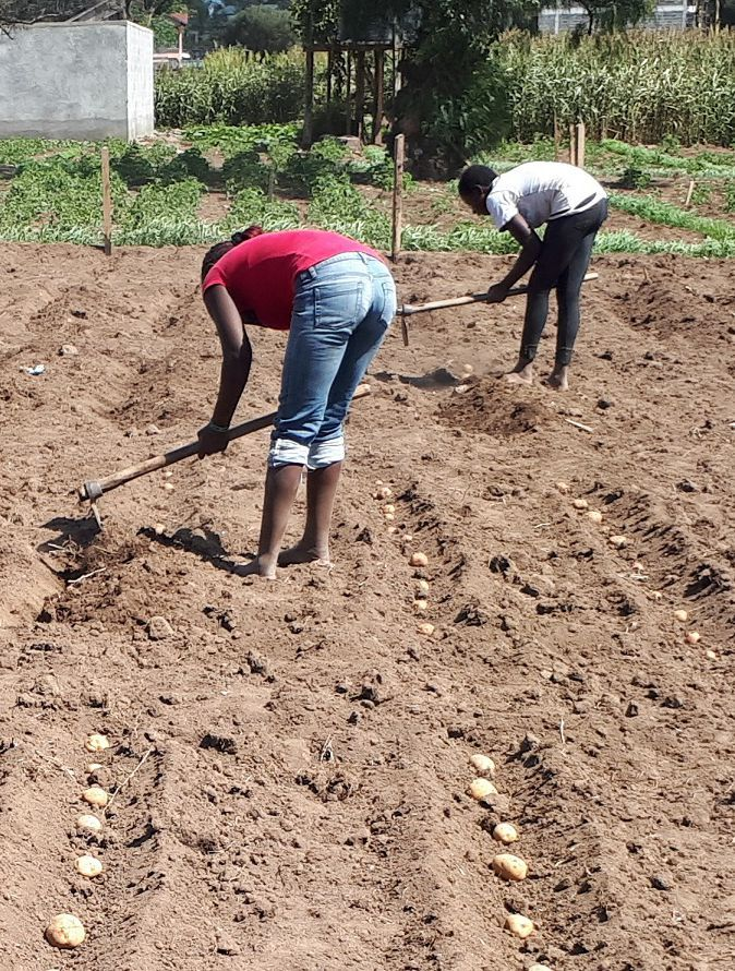 Planting GB seed potatoes for the trials in Kenya