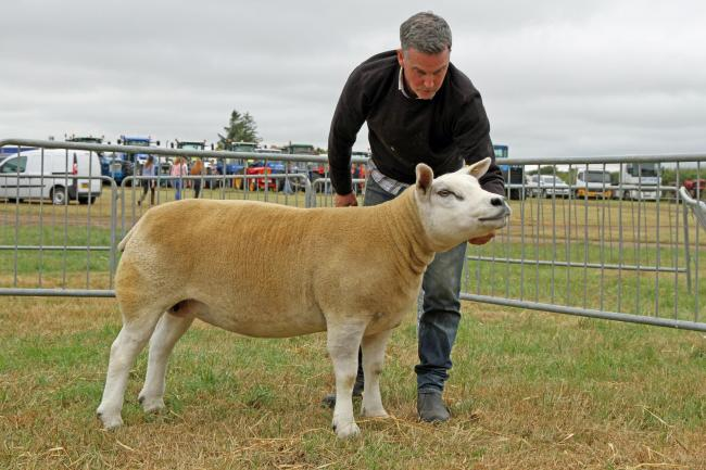Texel takes all at New Deer   The Scottish Farmer
