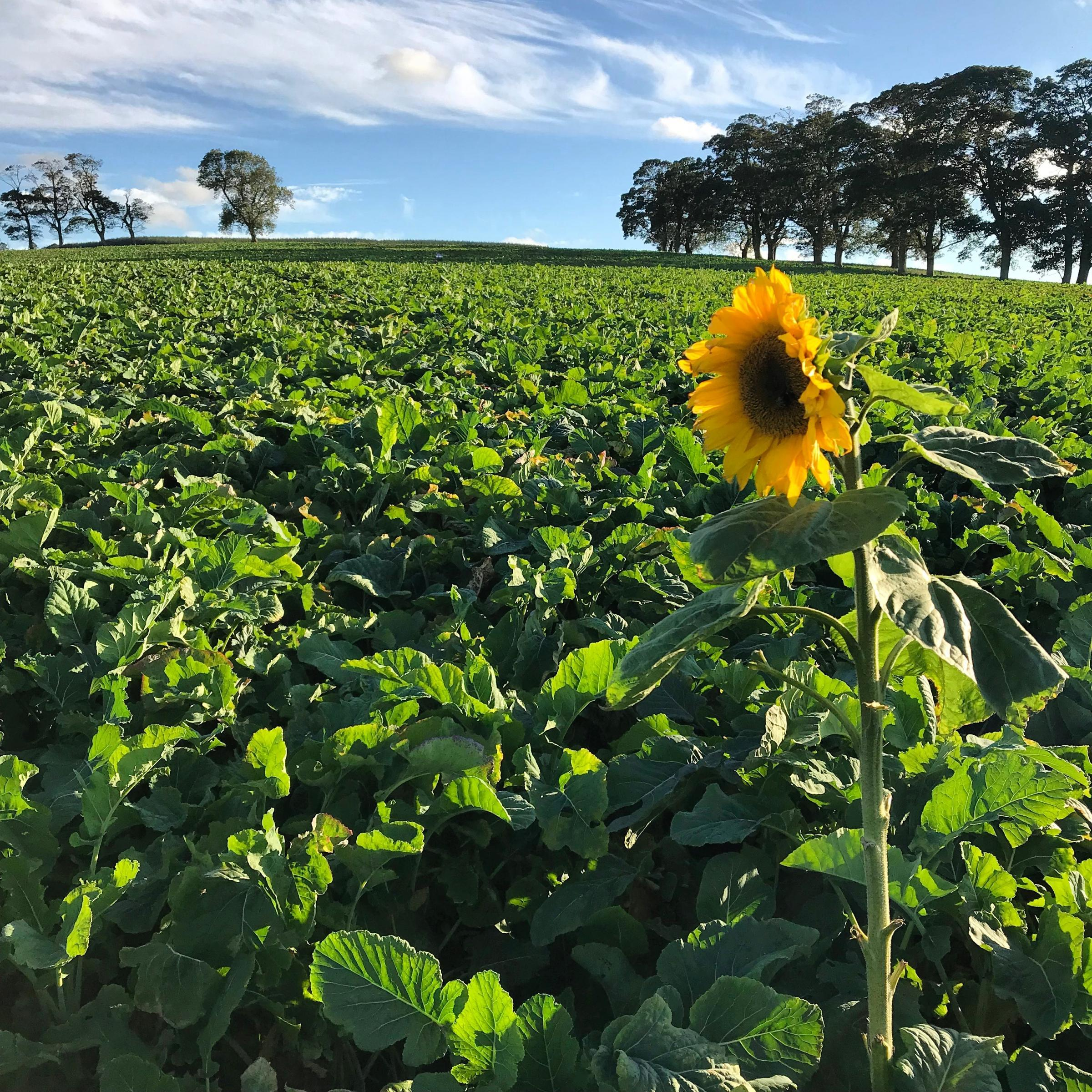 A SINGLE sunflower growing in the Waugh family's field of turnips and kale, destined for winter sheep fodder at Blackcastle Farm, near Pathhead, Midlothian (Photo: Georgia Waugh)